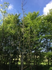 ashdieback_rotated_238