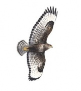 buzzard_in_flight_180