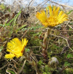 coltsfoot_web_250