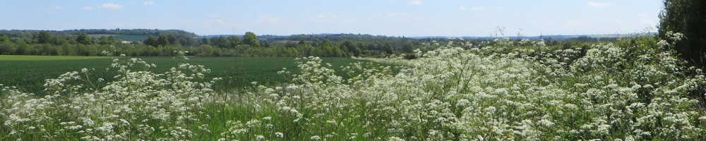 Cow Parsley in abundance in May