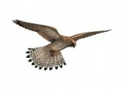 kestrel_illustration_c_lynda_durrant_180