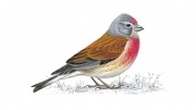 linnet_male_180