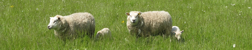 Sheep in the paddocks