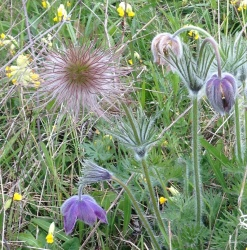 pasqueflower_anthonytwist_closeup_250