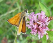 smallskipper_clover_180