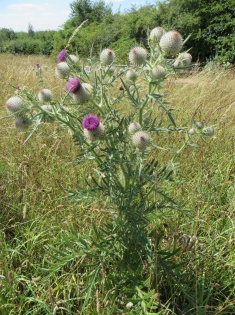 woolly_thistle_large_315