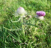 woolly_thistle_scaled_180