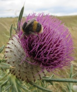woolly_thistle_with_bee_180