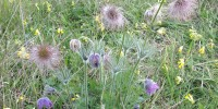 PasqueFlower_AnthonyTwist_web.JPG